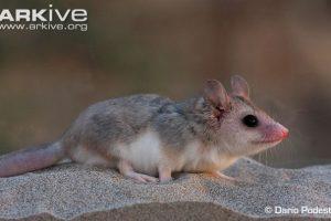 Patagonische opossums