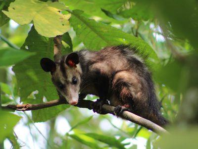 Midden-Amerikaanse-opossum-2
