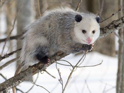 Noord-Amerikaanse-opossum-5