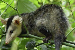 echte opossums