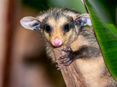 Portrait of a very cute big-eared opossum that holds on to a branch and looks straight into the camera.