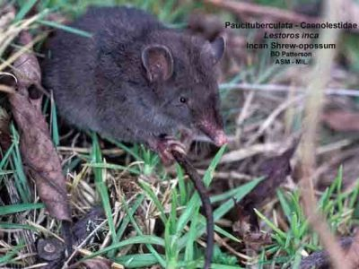 orde opossummuizen