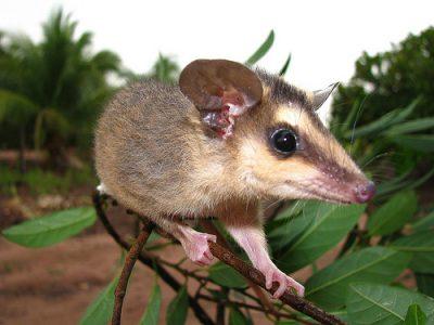 orde opossums