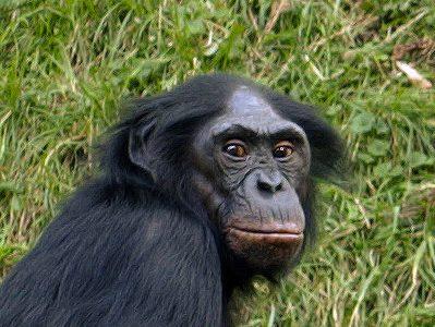 orde primaten