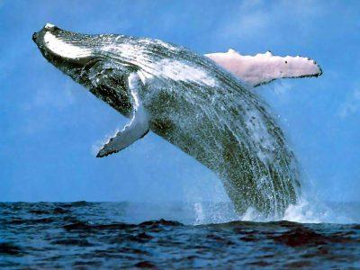 orde walvissen