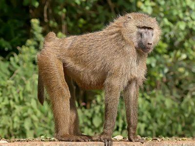 apen van de oude wereld (2)