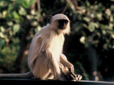 apen van de oude wereld (4)