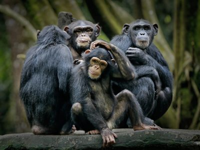 chimpansees-5