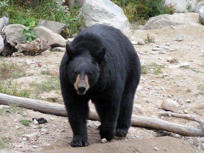 Amerikaanse zwarte beer (2)