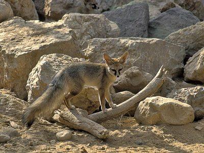 Afghaanse vos (3)