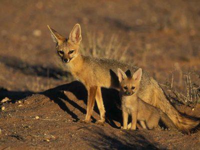 Kaapse vos (3)