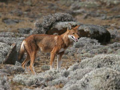 Ethiopische wolf (4)