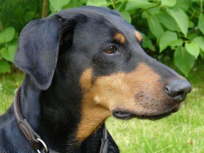 honden (2)