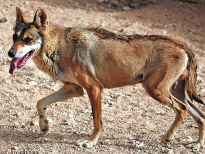 Arabische wolf (1)