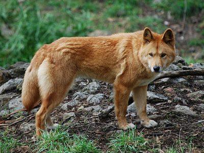 dingo (1)