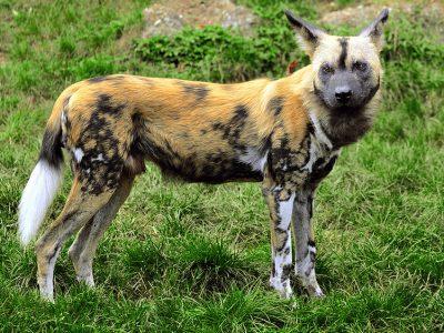 hyenahonden (2)