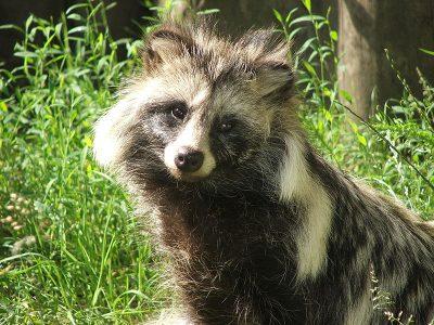 wasbeerhonden (3)