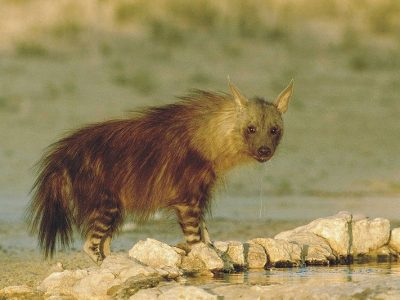 hyena's-4