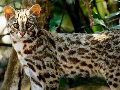 Bengaalse-tijgerkat-1