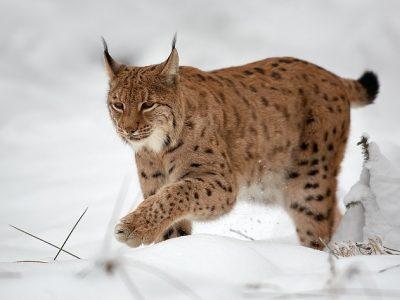 Euraziatische-lynx-2