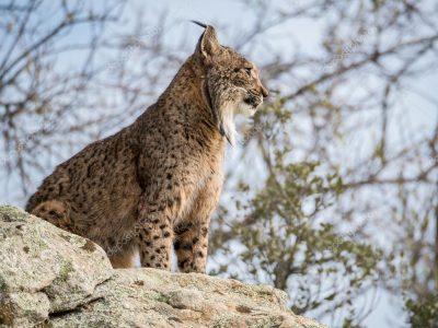 Spaanse-lynx-1