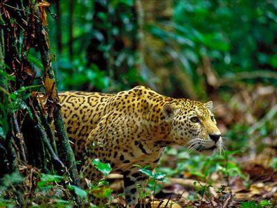 jaguar-5