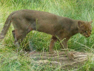jaguarundi-3