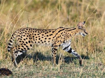 862-07690329 © AWL Images / Masterfile Model Release: No Property Release: No Kenya, Masai Mara, Narok County. A Serval Cat on the prowl for prey on the plains of Masai Mara National Reserve.