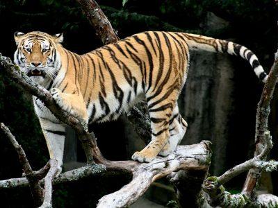 tijger-3