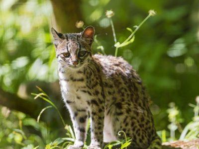 tijgerkat-3