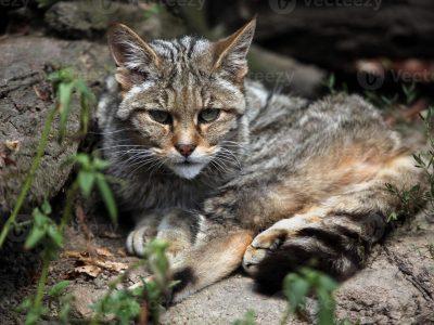 wilde-kat-2