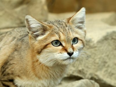 woestijnkat-2