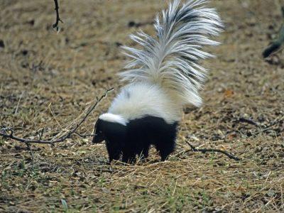 gekraagde-skunk-1
