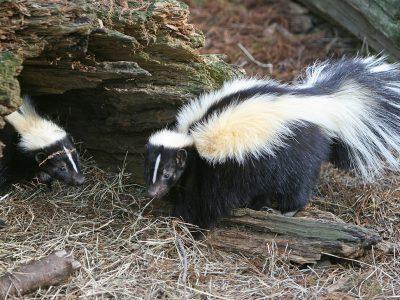 gestreepte-skunk-1