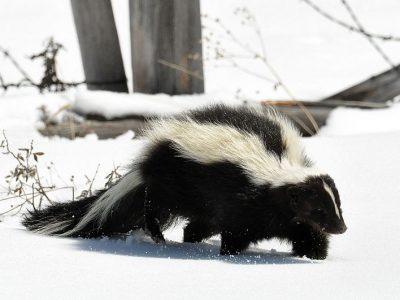 gestreepte skunks (2)