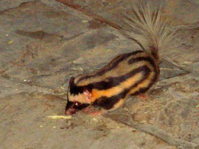 kleine-gevlekte-skunk-1
