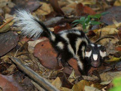 oostelijke-gevlekte-skunk-1