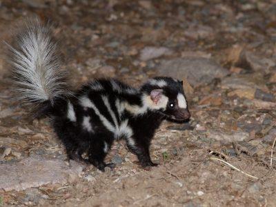 westelijke-gevlekte-skunk-2