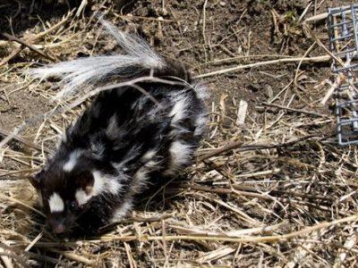 zuidelijke-gevlekte-skunk-2