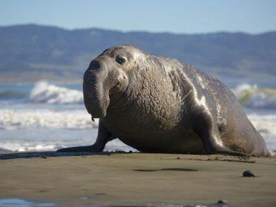zeeolifanten-2