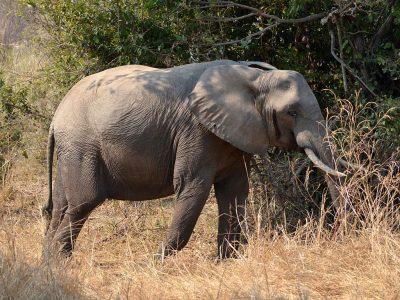 Afrikaanse-savanneolifant-3