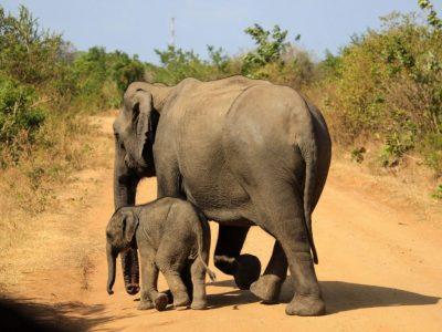 Aziatische-olifanten-3