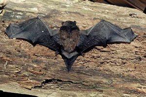 Nieuw-Zeelandse vleermuizen