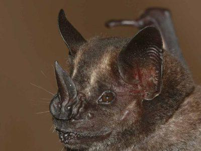 donkere-fruitetende-vleermuis-1