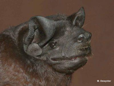 zwarte-fluweelvleermuis-1