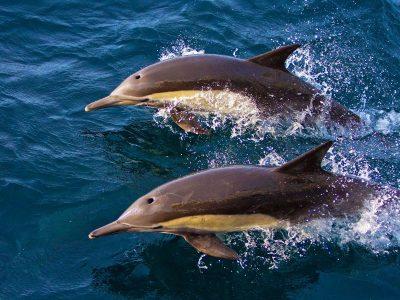Kaapse-dolfijn-2