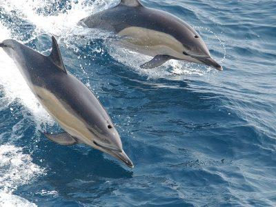gewone-dolfijn-2