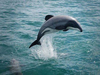 Aerial survey of Hector's dolphins, Banks Peninsula, New Zealand